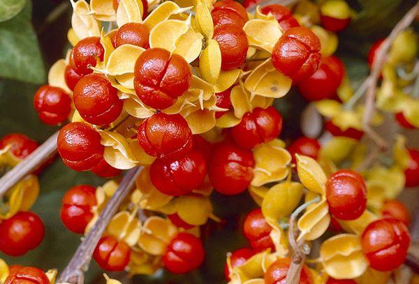 Плоды Дианы