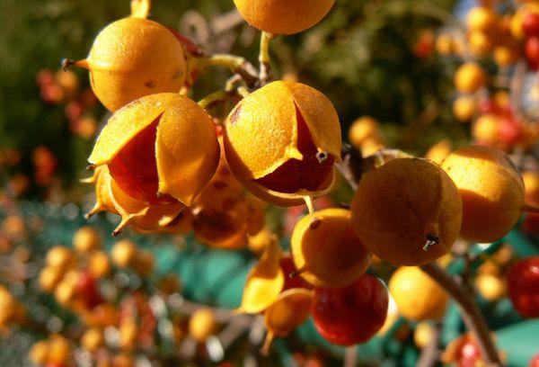 Плоды и семена Дианы