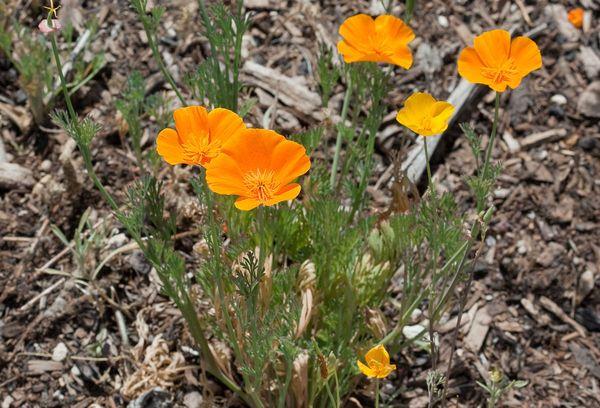 Цветки Эшшольции