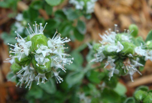 Цветок Майорана
