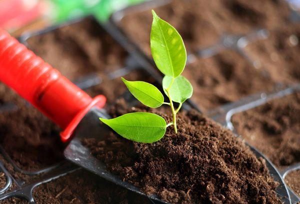 Посадка ростка в грунт