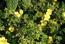 Цветущая лапчатка кустарниковая