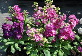 Цветущая маттиола