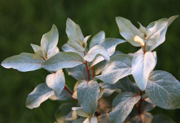 Листья лоха серебристого