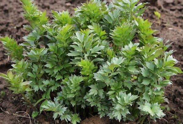 травяное растение