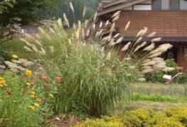 Тропическое злаковое растение на участке