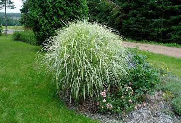 Тропическое злаковое растение