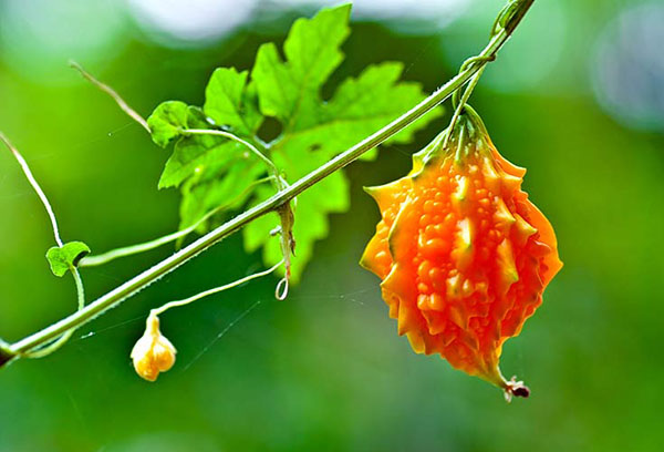 Плод момордики