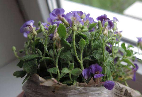 Цветок аубреции