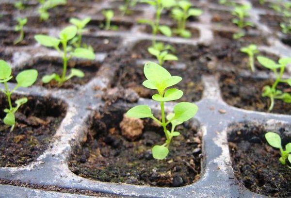 Выращивание обриеты из семян и черенками