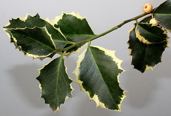 Листья падуба