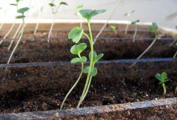 Молодые ростки капусты