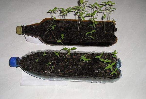 Выращивание рассады в пластиковой бутылке
