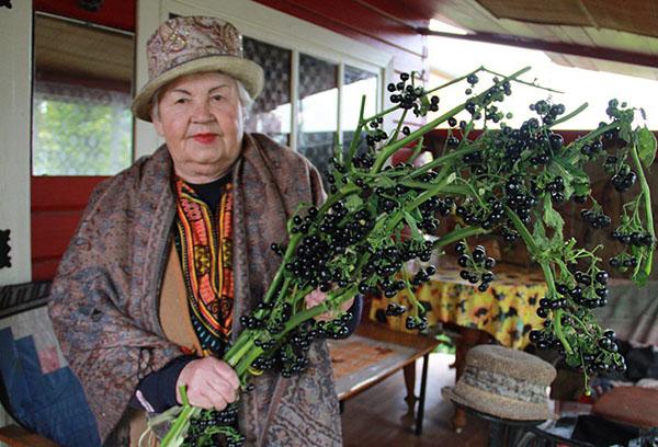 Урожай ягод санберри