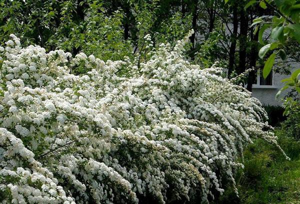 Пышное цветение спиреи серой