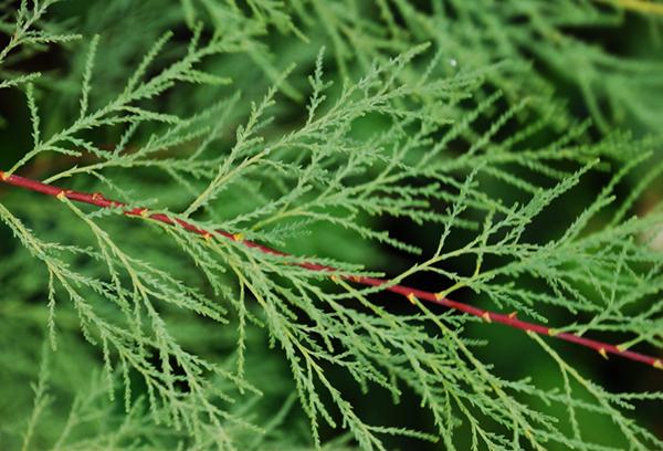 Ветвь тамарикса