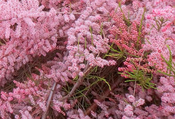 Пышно цветущий тамарикс