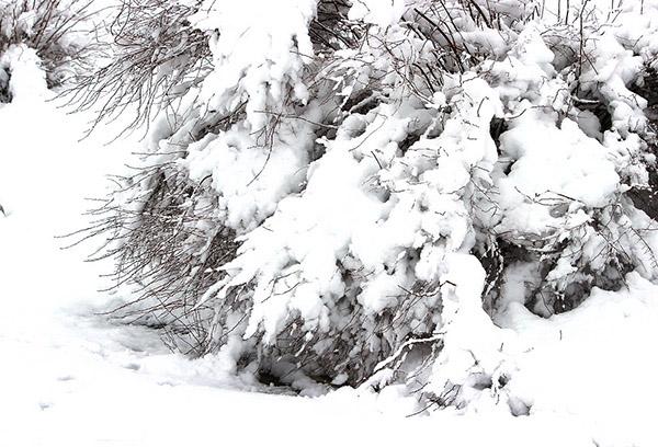 Тамарикс под снегом
