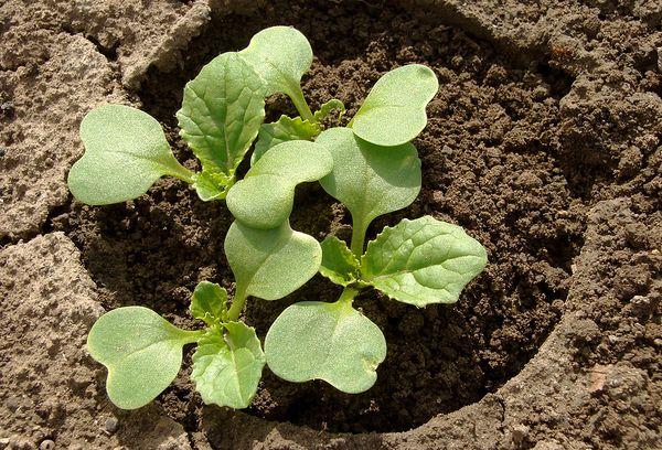 Какую минусовую температуру выдерживает рассада капусты: как закалять и укреплять саженцы