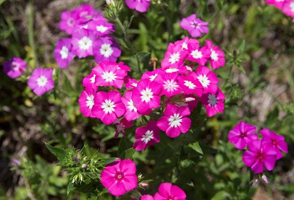 Цветение флокса Друммонда
