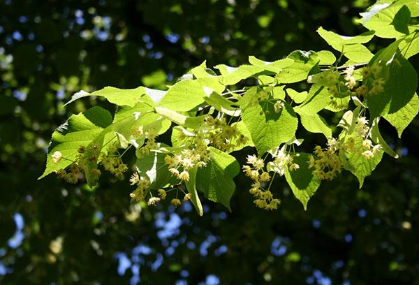 Ветвь цветущей липы