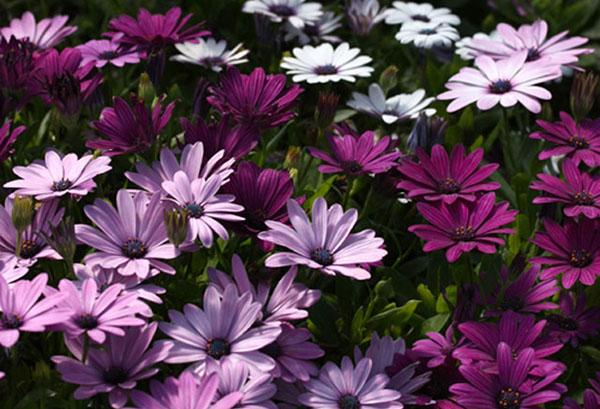 Цветущий остеоспермум