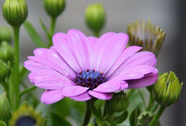 Цветок остеоспермума