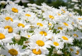 Цветение нивяника