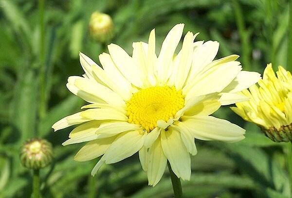 Желтый нивяник