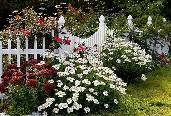 Садовая ромашка в ландшафтном дизайне