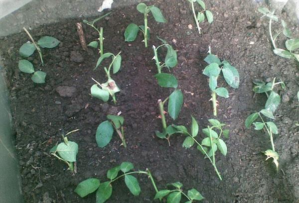Укоренение черенков розы