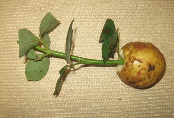 Выращивание розы в картошке в домашних условиях