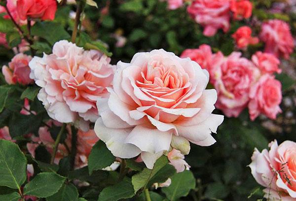 Цветение чайной розы