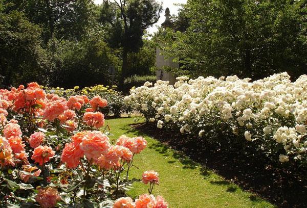 Чайно-гибридные розы разных сортов