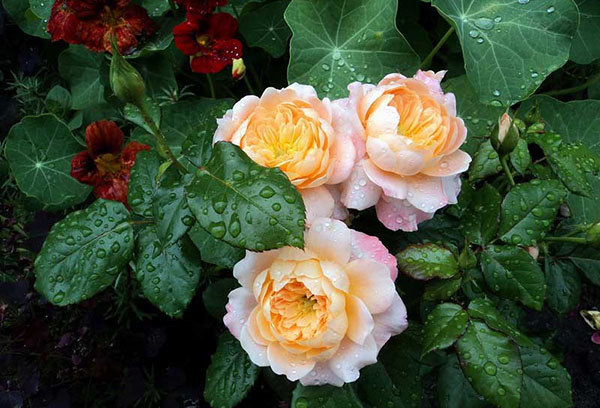 Цветущая чайно-гибридная роза