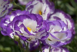 Цветки бутоны Эустомы