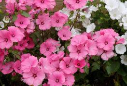Цветение однолетней лаватеры