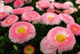 Маргаритки розовые