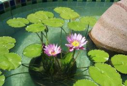 Горшок с нимфеей в бассейне