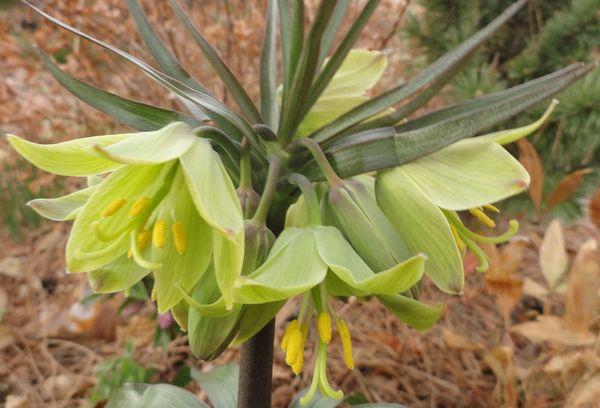 Рябчик императорский — правила выращивания великолепного цветка
