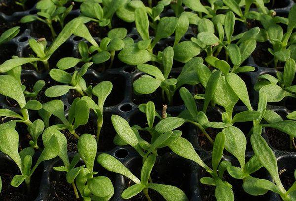 Выращивание ромашек из семян