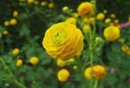 Ранункулюс желтый