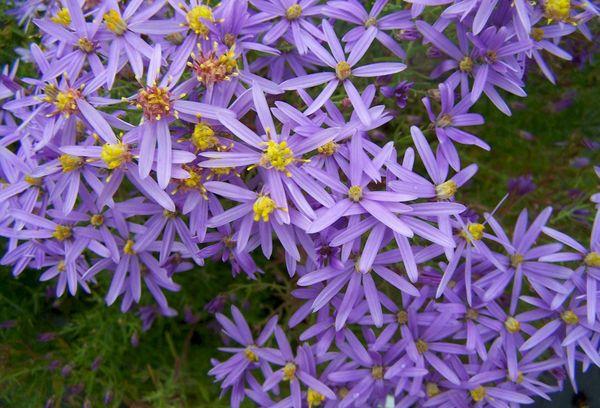 Садовые цветки