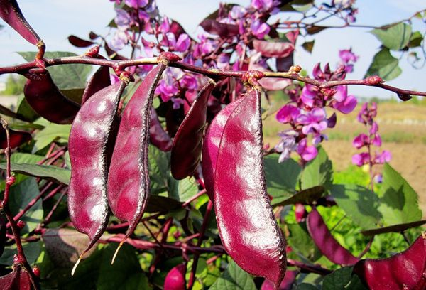Плоды Долихоса