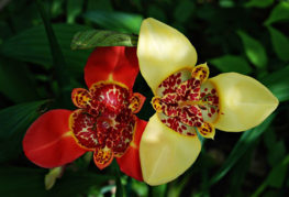 Два цветка тигридии