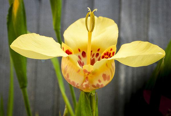 Желтая тигридия