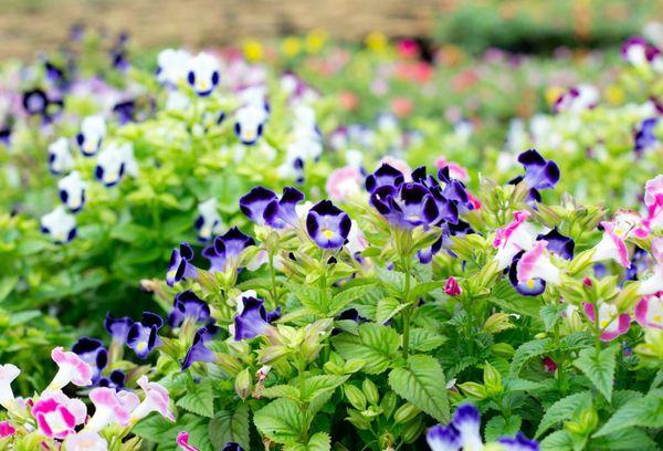 Цветки Торении