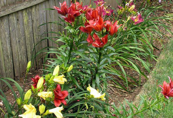 Лилии выращивание посадка уход сорта