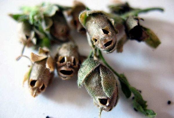 Семена Антиринума