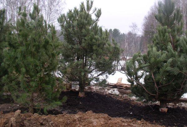 Особенности посадки и выращивания хвойных деревьев